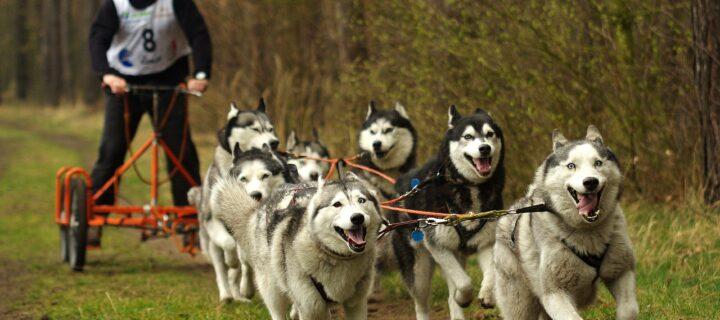 В Рязанской области пройдут гонки на собачьих упряжках