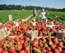 Более 500 тонн клубники собрано с начала сезона в Подмосковье