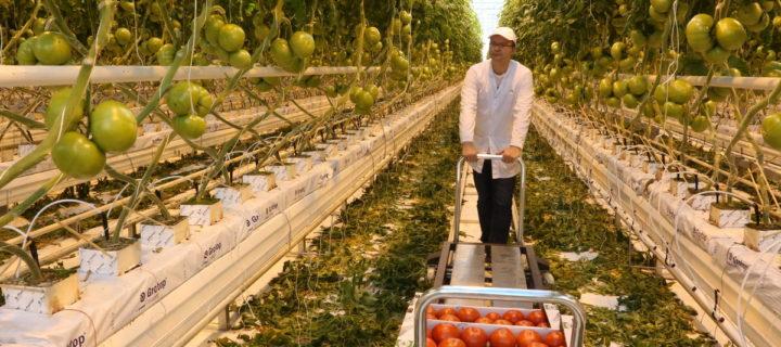Более 30 тыс. тонн овощей собрали в тепличных хозяйствах Подмосковья