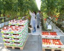 В теплицах Подмосковья с начала года вырастили более 66 тыс тонн овощей