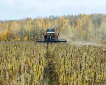 Предприятия по выращиванию и переработке технической конопли создадут в Солнечногорске