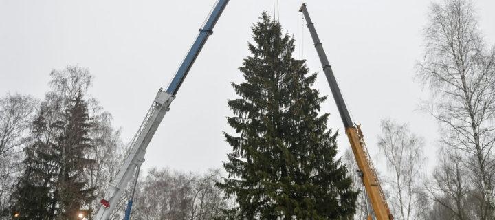 В Бородинском лесничестве выбрали главную новогоднюю елку страны